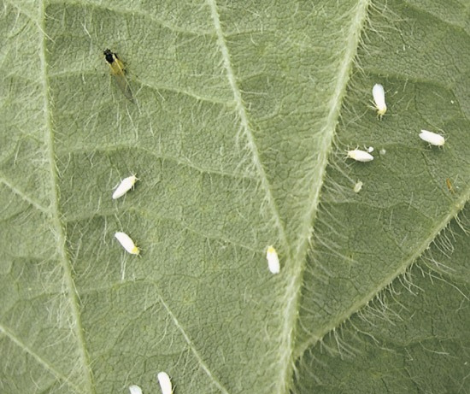 whiteflies are little white bugs that look like lint
